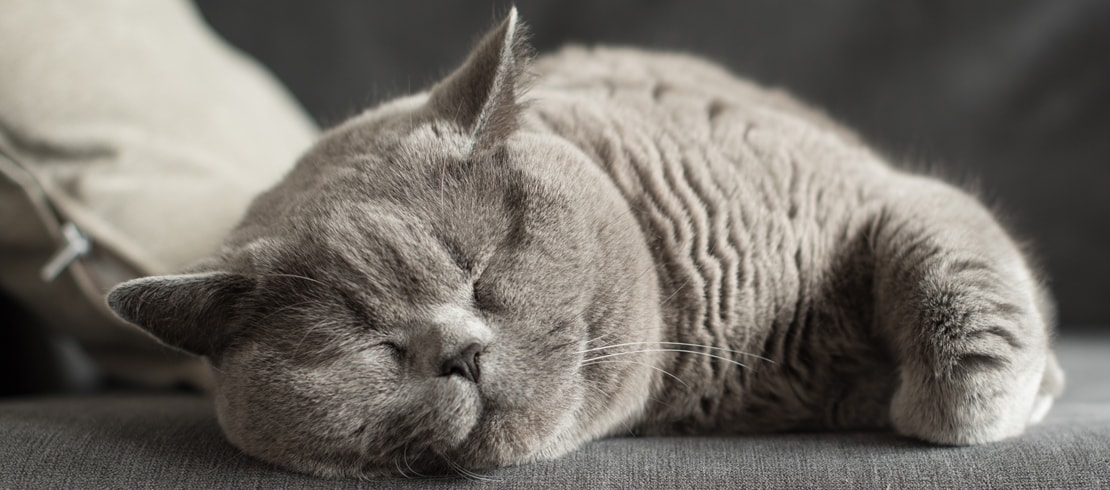 A British shorthair sleeping on couch.