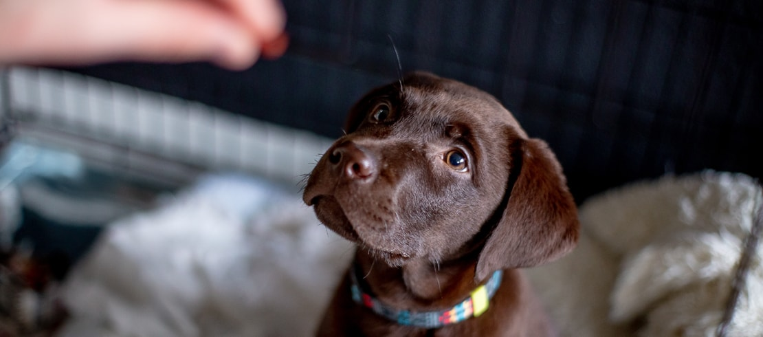 A chocolate Labrador puppy sitting for a probiotic treat.