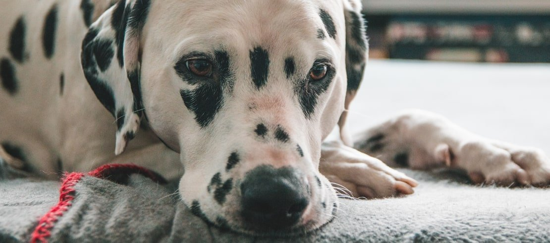 A Dalmatian resting its head on on a bed.