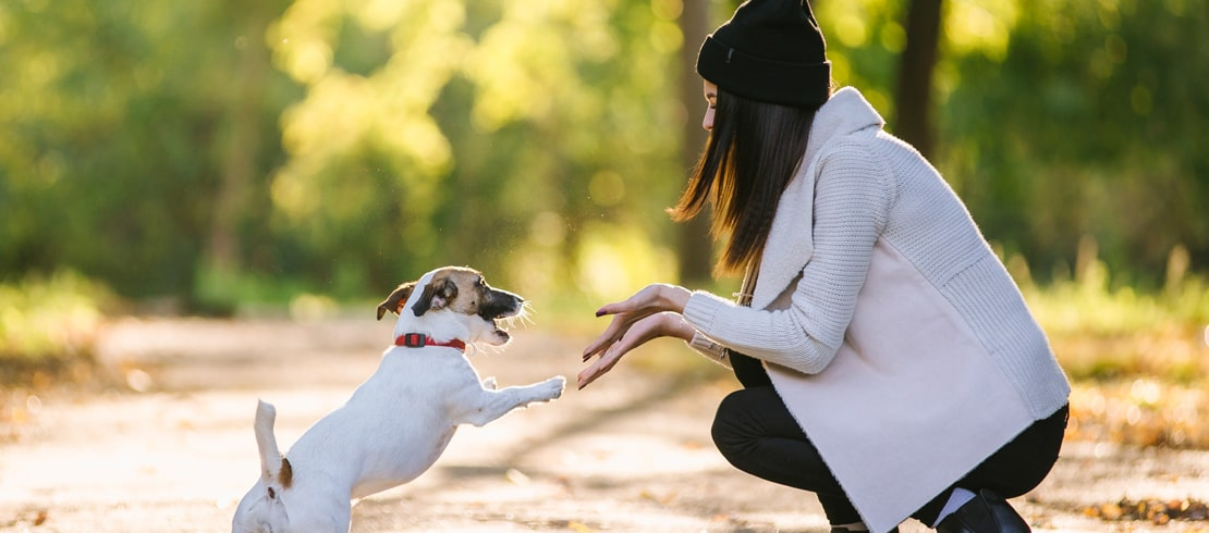 Small white and brown dog high fiving its owner on a walk.