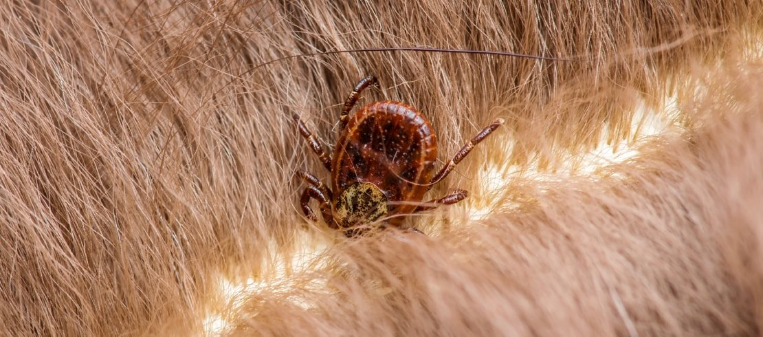 Tick embedded in dog's fur