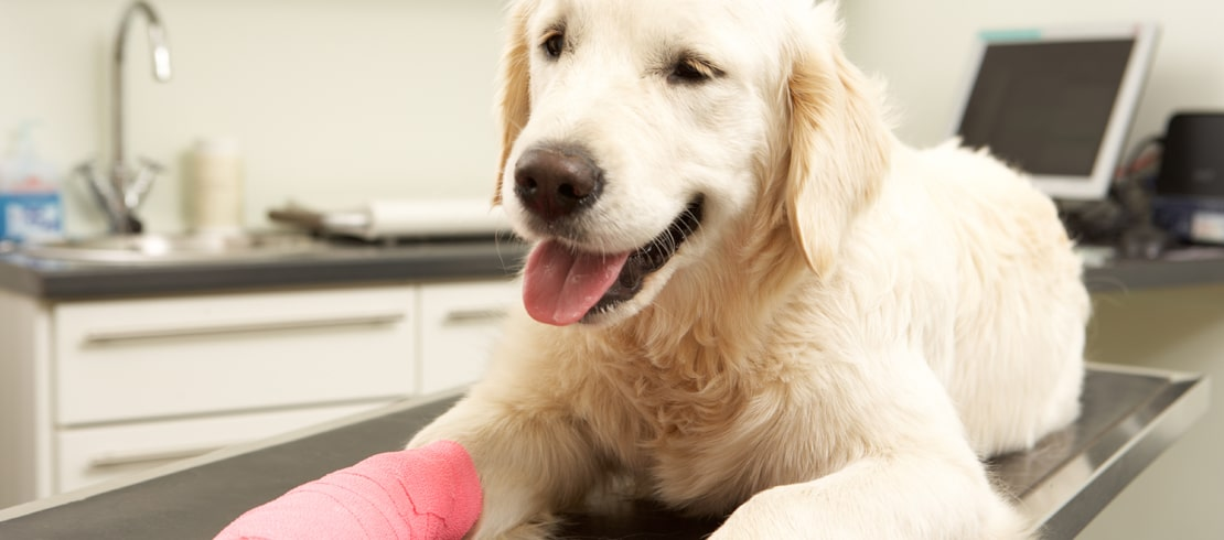 A golden retriever sitting on a vet's table with a pink cast on its leg.