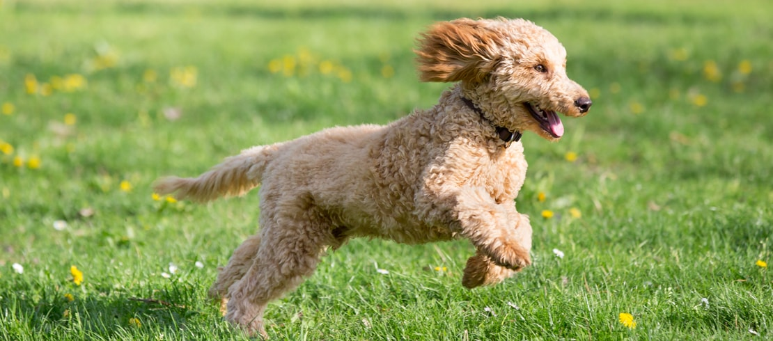 Happy Goldendoodle running in grassy field