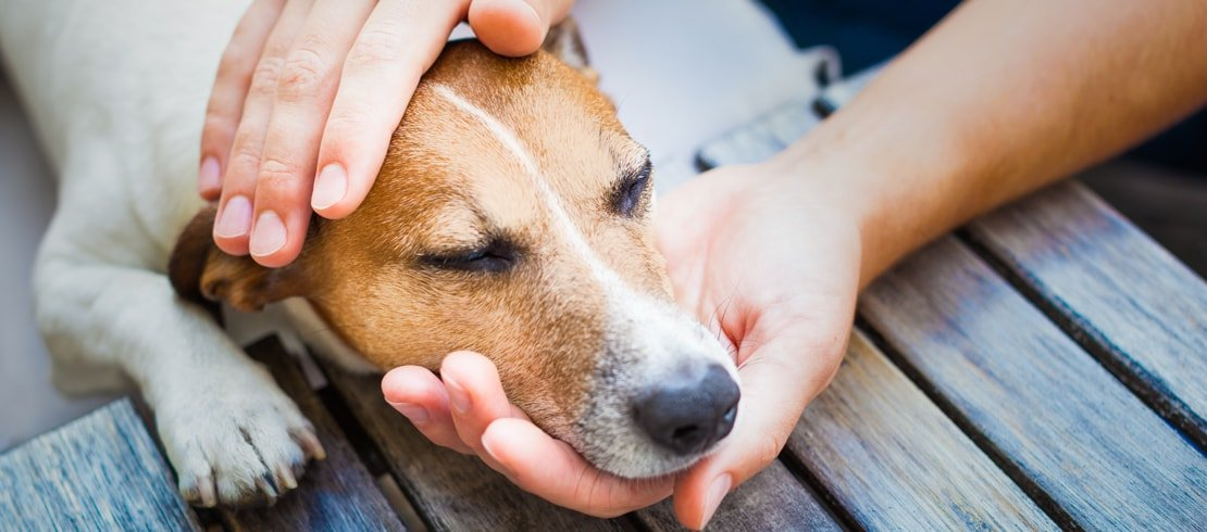 A lethargic beagle resting its head in its owner's hands.