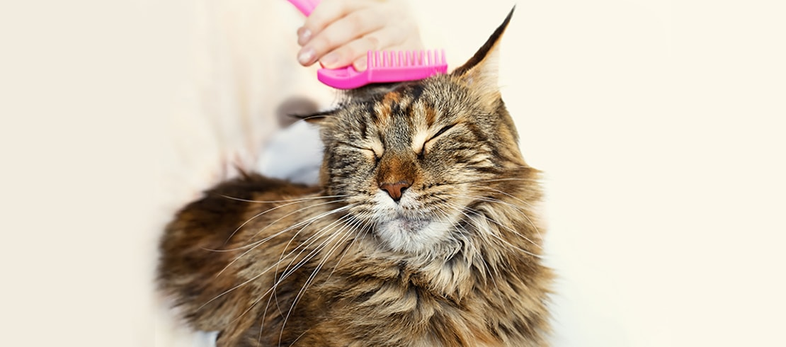 A Maine Coon cat enjoying being brushed