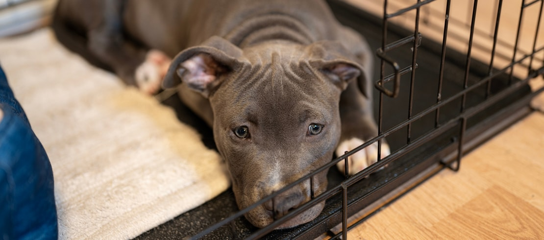 A pit bull mix sleeping in its dog crate.