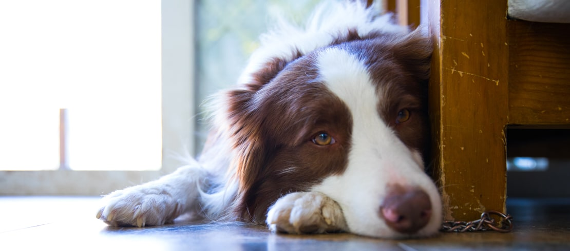 A sad looking Australian Shepard lying on the wood floor behind a couch.