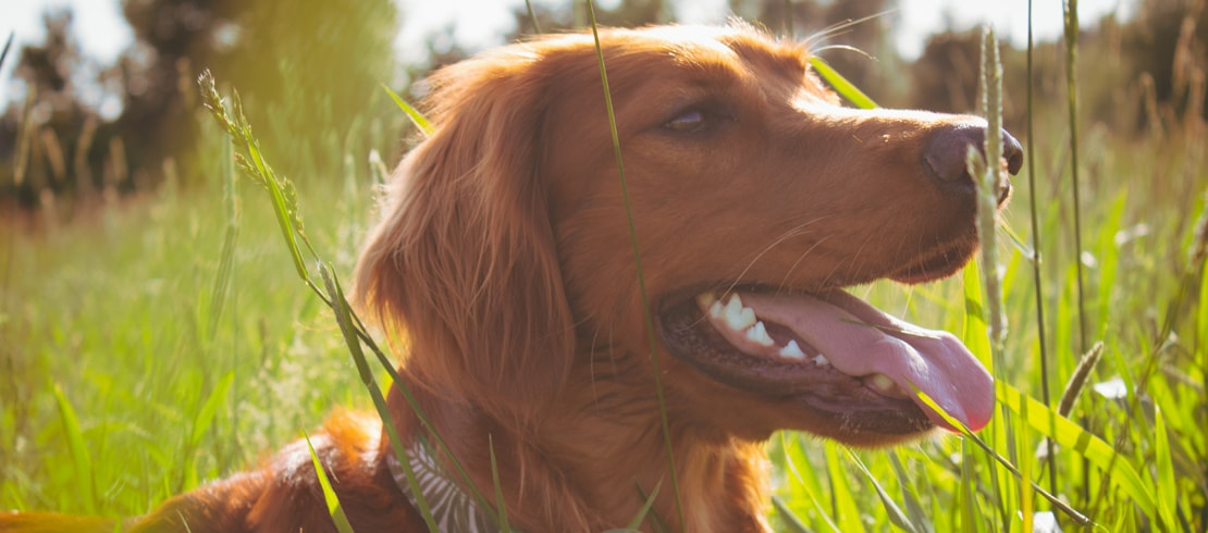 Happy red golden retriever laying in grass soaking up the sun.
