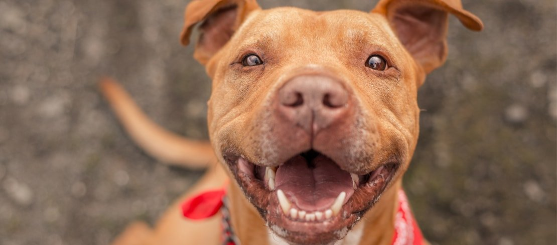 A smiling pit bull wearing a red bandana.