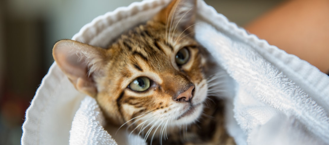 A tabby kitten being held in arm wrapped in a towel.