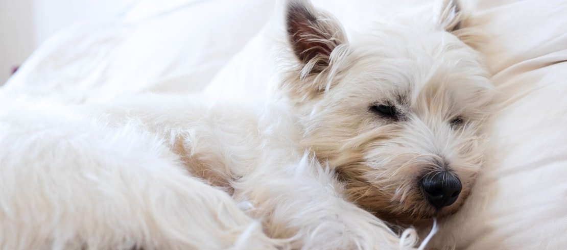 A white West Highland Terrier dog sleeping peacefully on a bed.