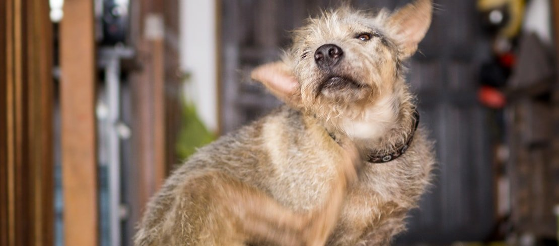 A Terrier dog scratching its neck from fleas.