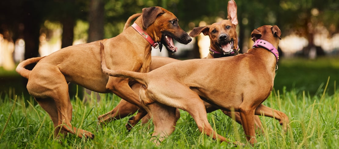 Three brown dogs playing together in a dog park.