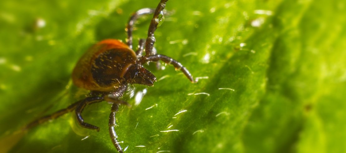 A zoomed-in image of a tick crawling on a green leaf.