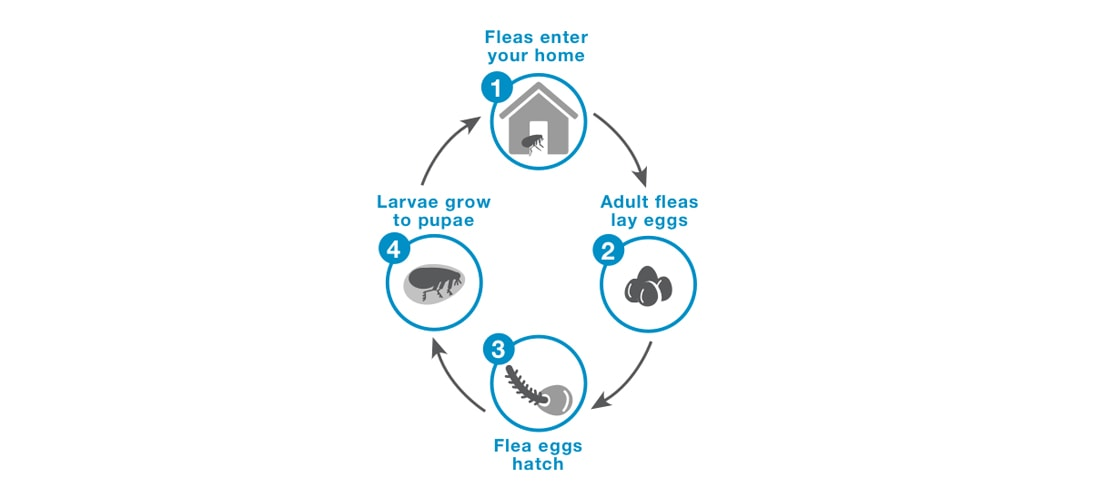 Understanding the 4 stages of the flea life cycle: laying eggs, larva, hatching to pupa and adult fleas.