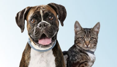 A Boxer dog and a Russian Blue cat both wearing Seresto flea and tick collars.