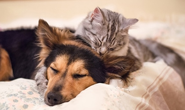 German Shepherd and gray tabby cat relaxing together on bed