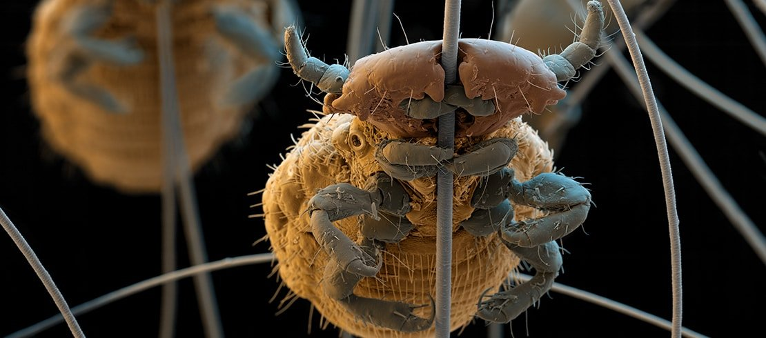 A lice wrapped around a strand of pet's fur.
