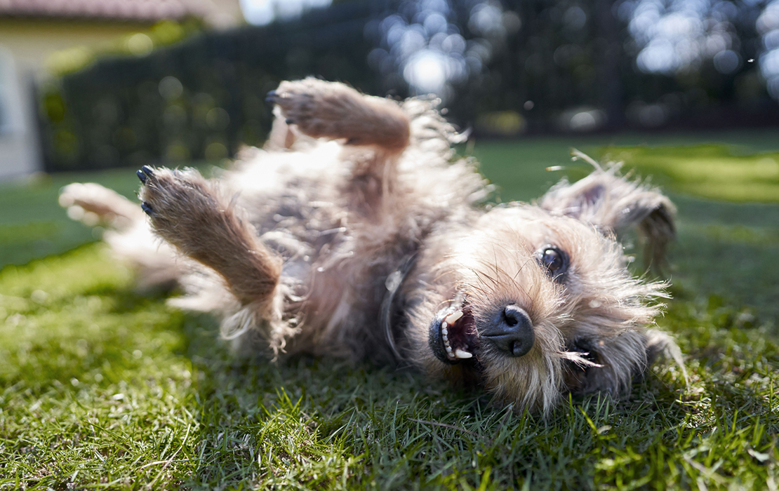 A terrier rolling in the grass.