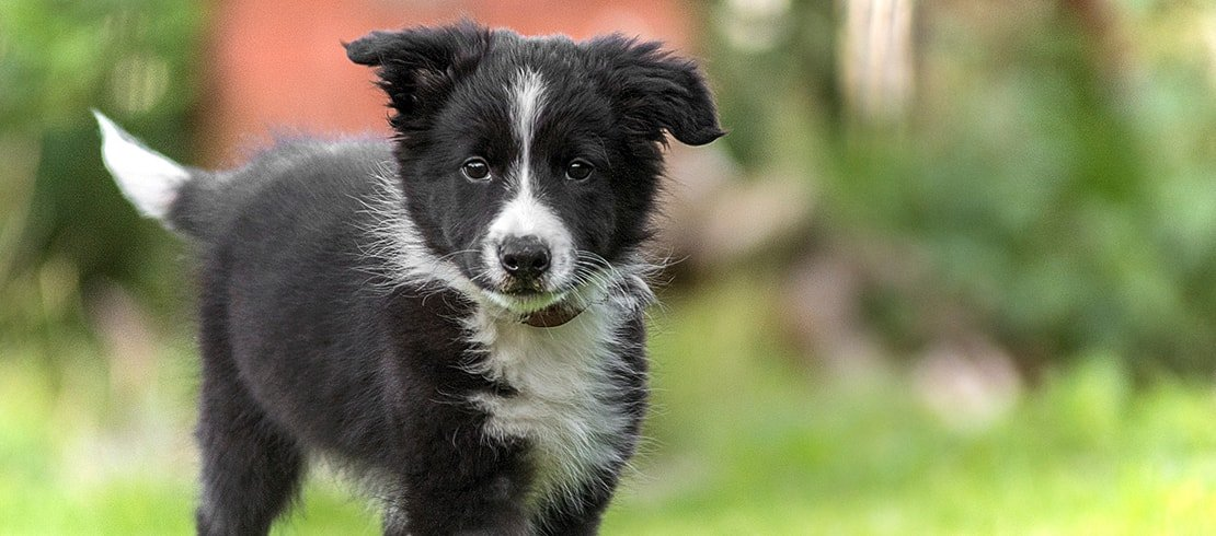 A  healthy border collie puppy frolicking in the grass
