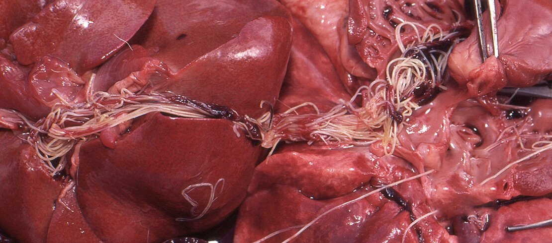 An image of a heartworm infection in a dog's heart.