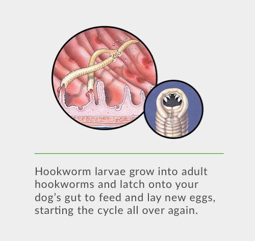 Hookworm larvae grow into adult hookworms and latch onto your dog's gut to feed and lay new eggs, starting the cycle all over again.