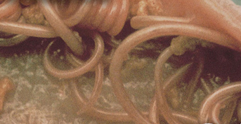 Close-up of pet infected with long, white and spaghetti-like roundworms.