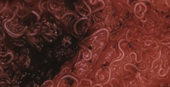 Close-up of an infected pet's intestines infested with whipworms.