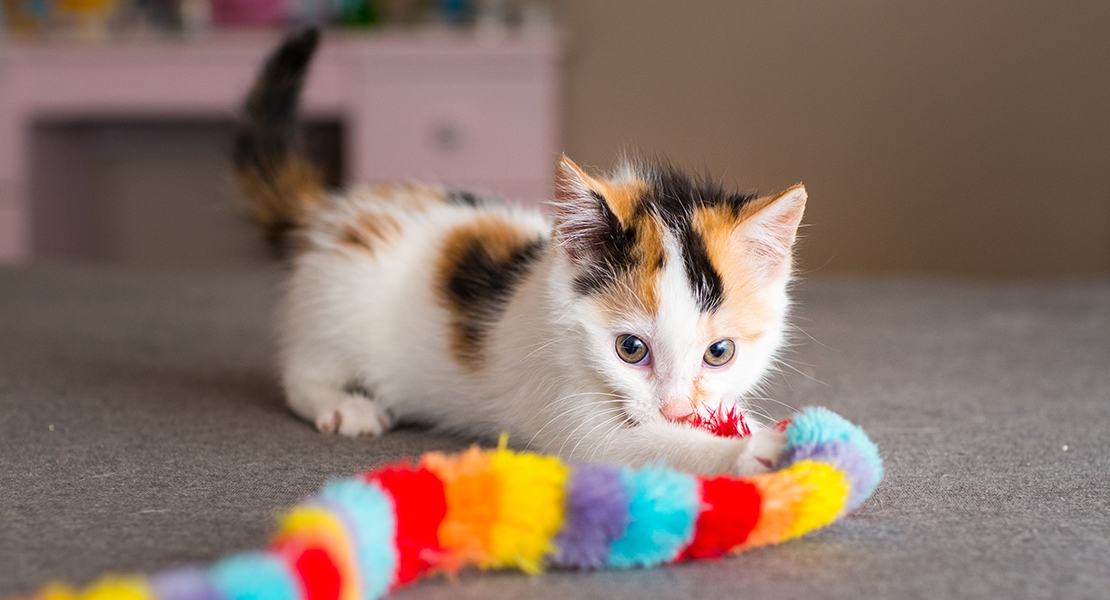 A kitten playing with a rainbow cat charmer toy.