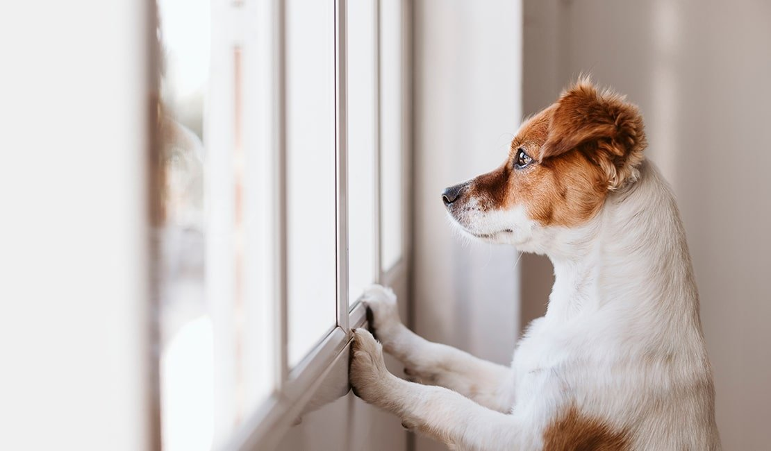 A brown and white Jack Russel terrier looking longingly out the window.
