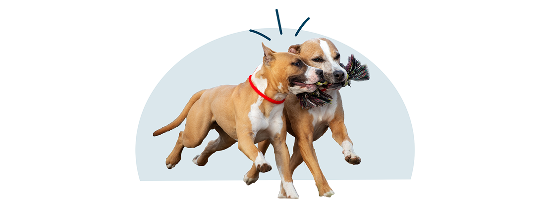 Two pit bull dogs sharing a toy.