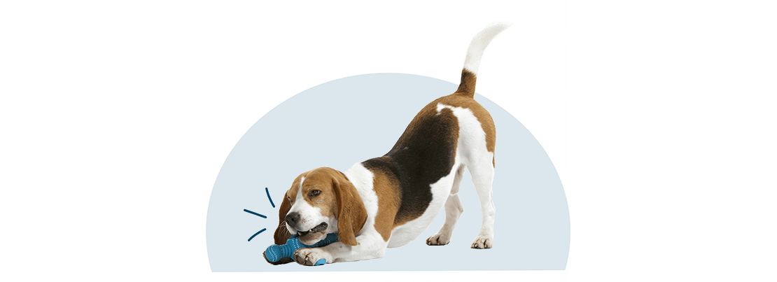 A beagle chewing on a toy.