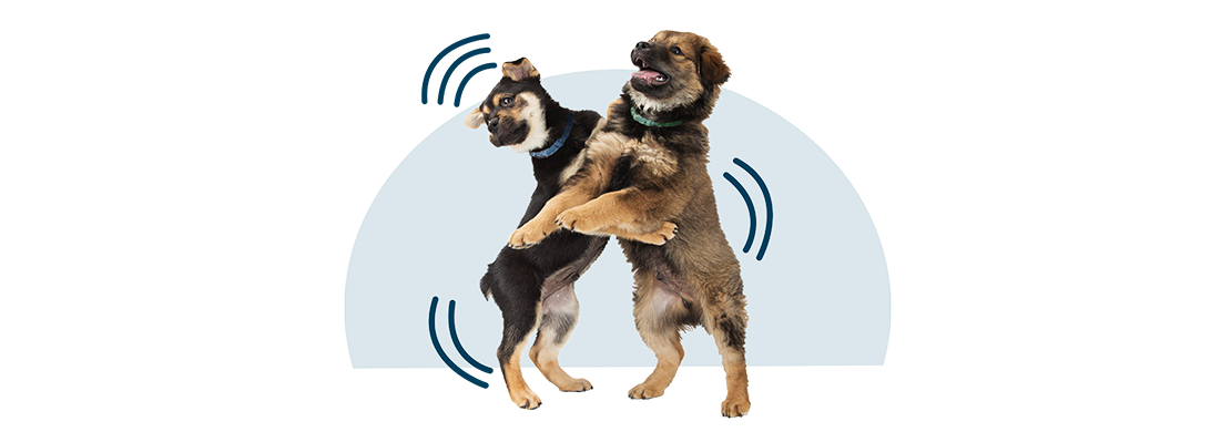 Two dogs standing on their hind legs play wrestling.
