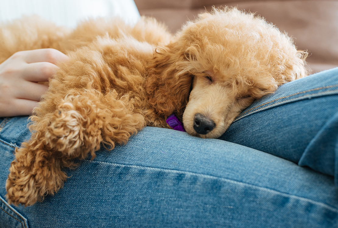 A poodle mix napping on human's lap