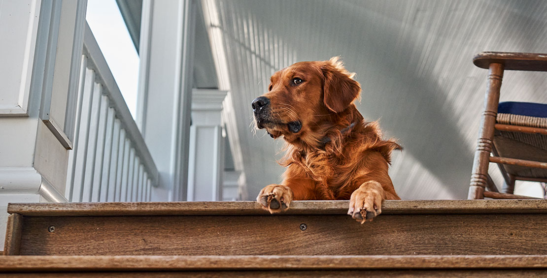 A red Golden Retriever looking to the side while sitting outside on a porch.