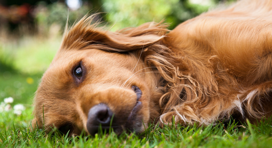 A red Golden Retriever lying on the grass.