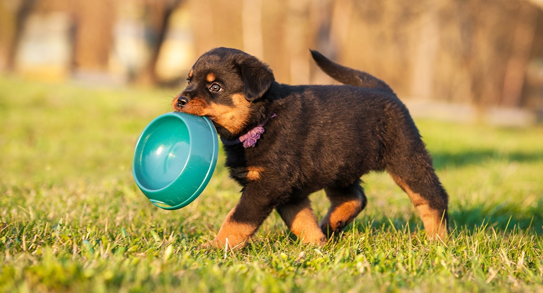 Puppy carrying his blue food bowl across a backyard.
