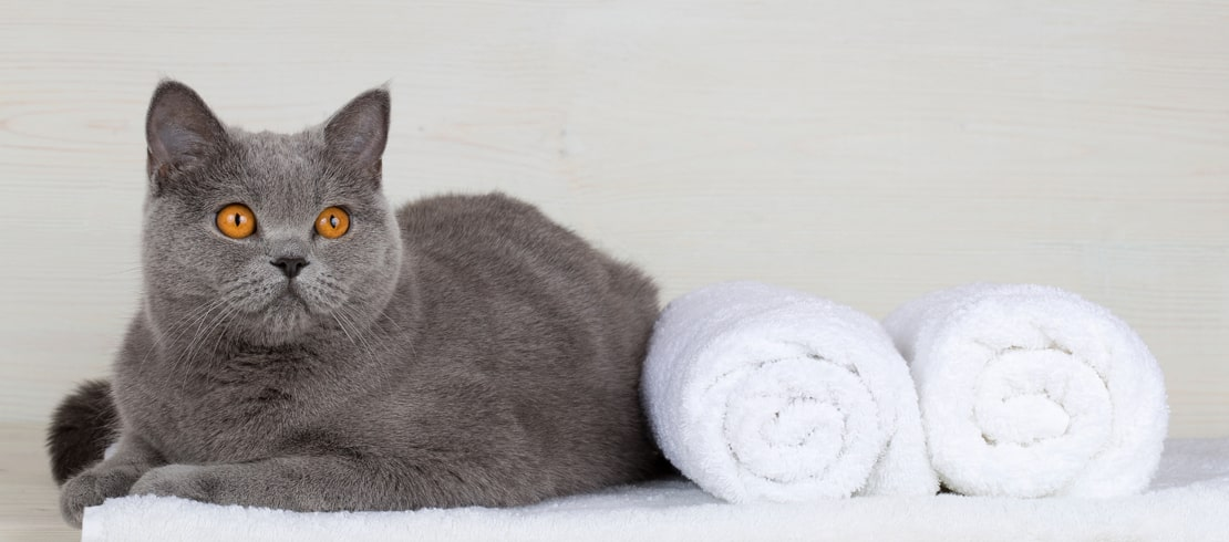 A British Shorthair cat sitting on a white towel with two towels rolled up next to it.