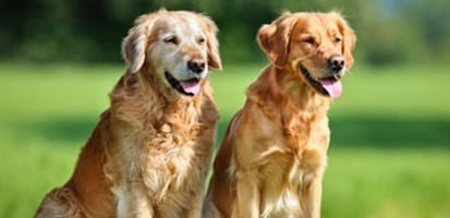 Two elderly golden retrievers sitting together in a grass field.