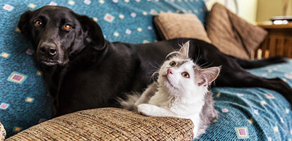 A black Labrador and a gray and white cat lying on a couch together.