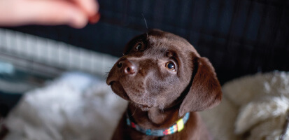 A brown lab puppy being fed a probiotic.
