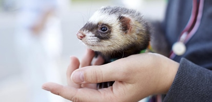A ferret sitting in human's hands