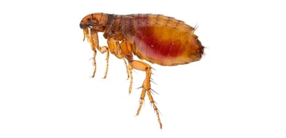 A close up of a flea