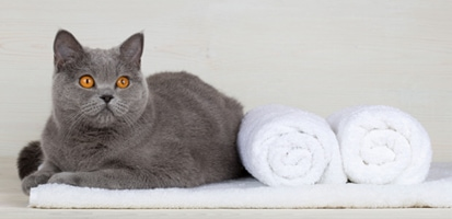 A Russian Blue sitting on a white towel with two folded towels next to the cat.