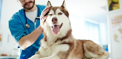 A vet examining a husky on an exam table
