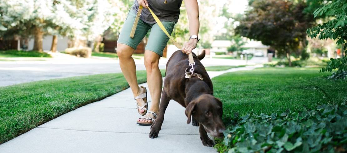 A chocolate Labrador forcefully pulling a smiling woman on a walk.