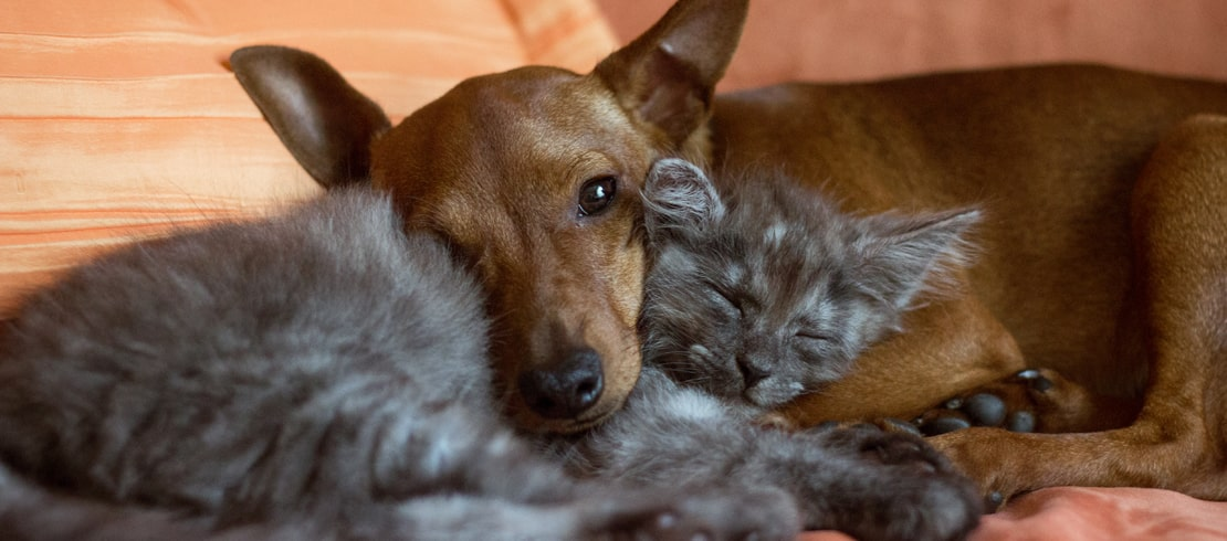 Gray cat and brown dog laying together on a bed.