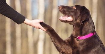Dog shaking their owner's hand.