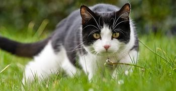 A tuxedo cat hunting in a yard.