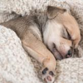 A young puppy wrapped in a blanket in a deep sleep.